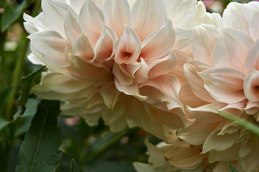 Flower, Dark, Autumn, Dahlia, Garden, Bloom, Blossom