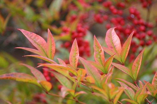 Autumn, Berries, Nature, Red, Fruit, Fruits, Bush