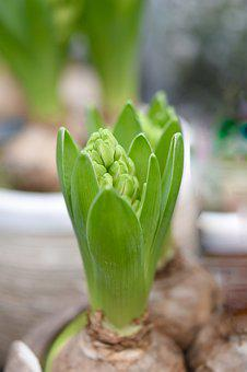 Flower, Hyacinth, Leaves Of Hyacinth, Color Green