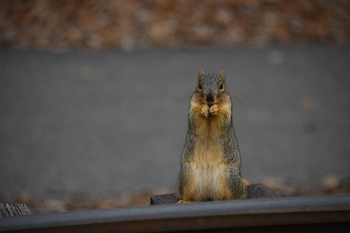 Squirrel, Rodent, Cute, Furry, Wildlife, Chipmunk