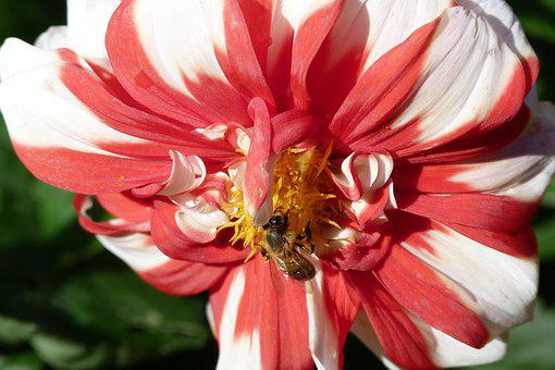 Dahlia, Flower, Colourful, Bee, Pollinate, Nature