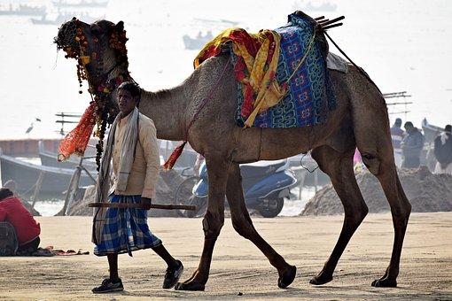 Camel, Animal, Owner, Desert, Travel, Head, Mammal