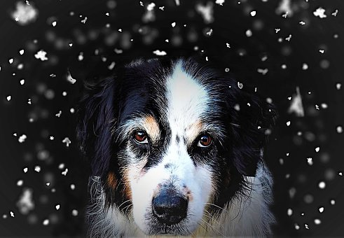 Dog, Snowflakes, Composing, Dog Head, Australia Shepard
