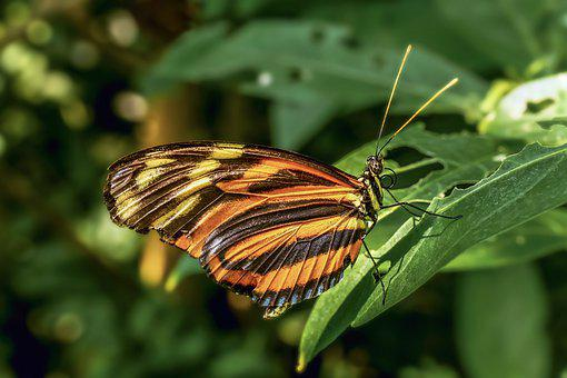 Butterfly, Exotic, Edelfalter, Tropical, Wing, Insect