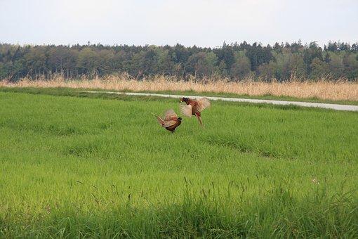 Pheasant, Dispute, Field, Male, Bird, Feather
