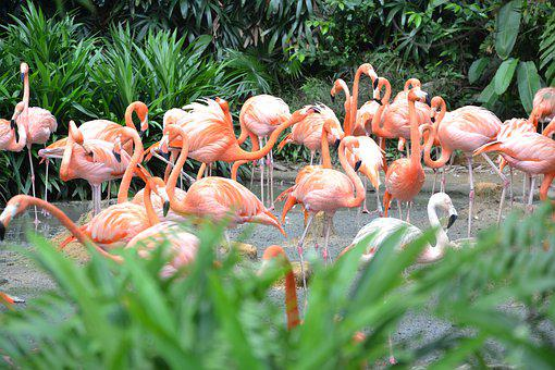 Flamingos, Zoo, Singapore, Pink, Birds, Animal World