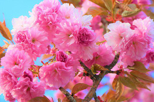 Flower, Spring, Nature, Cherry, Tree, Plant, Color