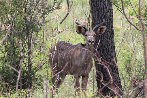 Kudu, Shade, Bush, Camouflage, Game, Drive, Wild