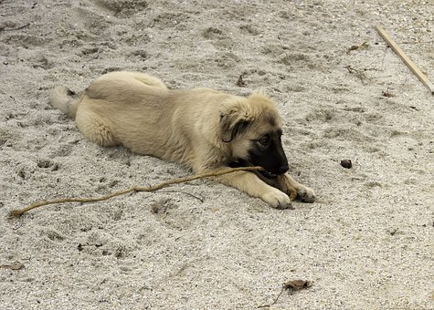 Shepherd Dog, Dog, Pets, Hairy, Cute, Four-legged