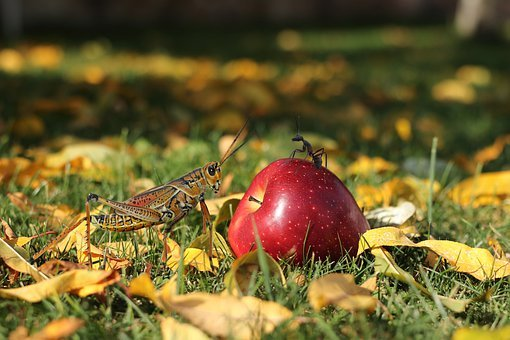 Apple, Red, Ant, Grasshopper, Landscape, Grass, Leaves
