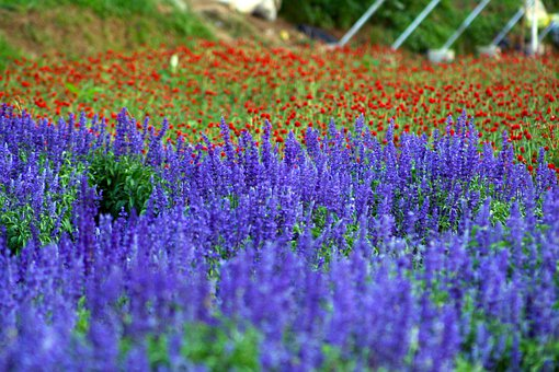 Field Of Flowers, Purple, Lavender, Flowers, Violet