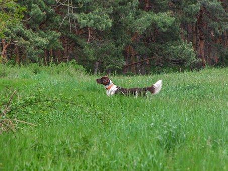 Dog, Munster Lander, Little, Animal, Pet, Münsterländer