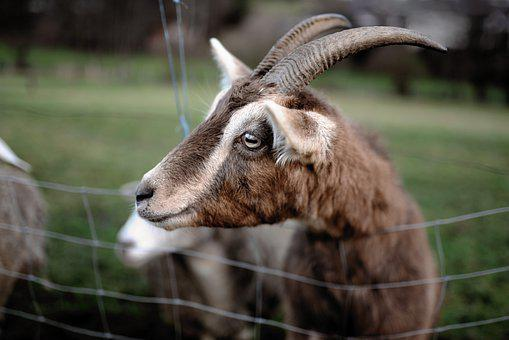 Goat, Billy Goat, Animal, Livestock, Horns, Bock