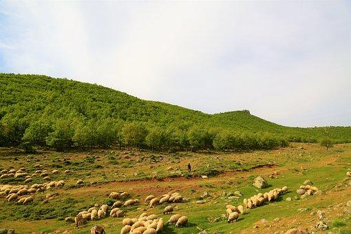 Sheep, Animal, Herd, Choudhury, Mountain, Mammal