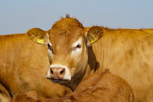 Limousin, Cattle, Pasture, Agriculture, Meat Breeds