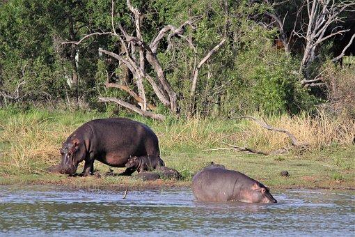 Hippopotamus, Hippo, Mother, Babies, Young, Children