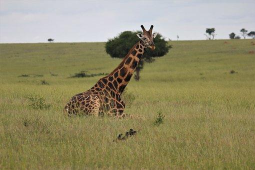Giraffe, Laying, Down, Nature, Uganda, African, Safari