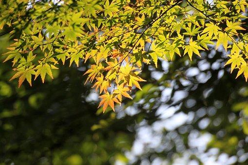 Maple, Maple Leaf, Wood, Nature, Leaf, Autumn Leaves