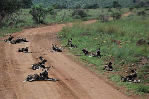 Pack, Of, Wild Dogs, Nature, Carnivore, Hunting, Hunter