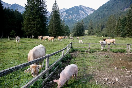 Pasture, Alm, Cows, Pig, Graze, Summer, Austria, Cattle