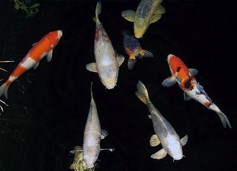 Fish, Pond, Koi, Swim, Water, Nature