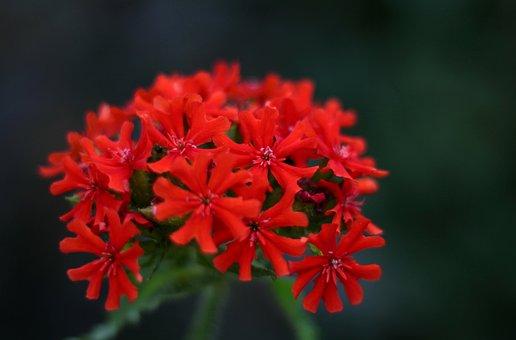 Lychnis Chalcedonica, Burning Love, Red, Garden