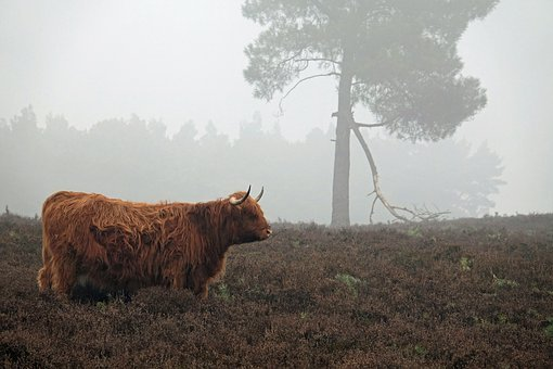 Winter, Fog, Scottish Highlanders, Landscape, Trees