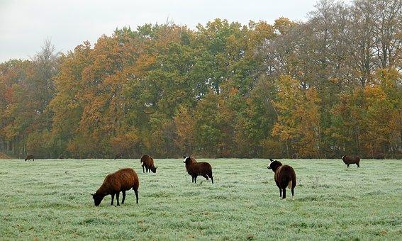 Sheep, Islanders, Brown Sheep, Nature, Autumn