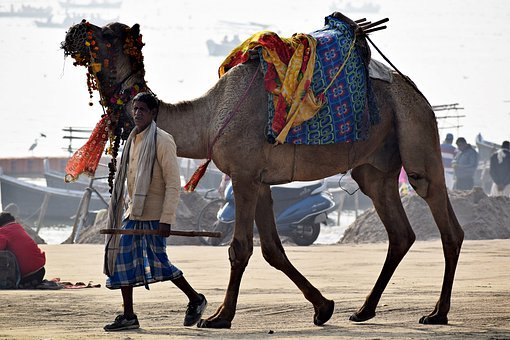 Camel, Animal, Owner, Desert, Travel, Head, Mammal