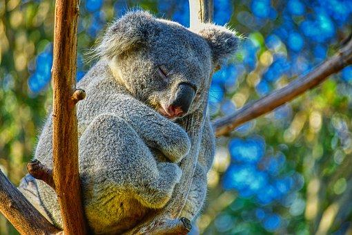 Koala, Animal, Australia, Nature, Cute, Wildlife, Tree