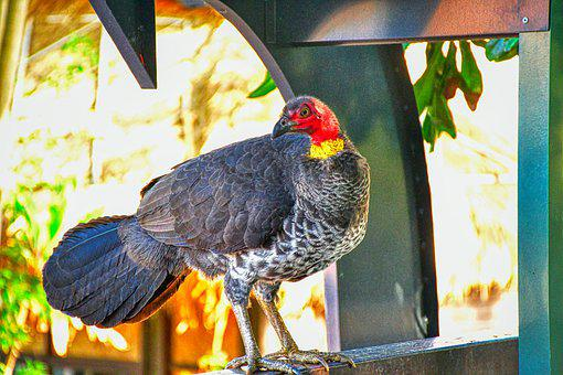 Australian Turkey, Turkey, Bird, Nature, Wildlife