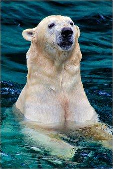 Bear, Polar Bear, Animal, White, Arctic, Predator, Zoo