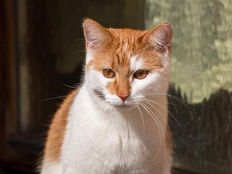 Cat, Red, White, Window, Sun, Portrait, View, Pet