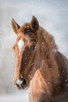 Horse, Fuchs, Horse Head, Winter, Snow, Snowflakes