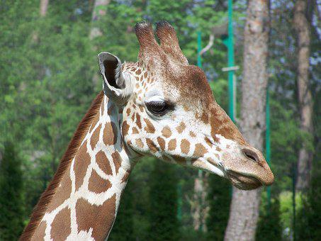 Giraffe, Animal, Zoo, Nature, Watch