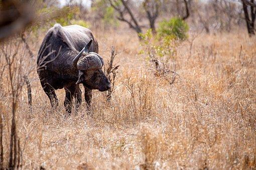 Buffalo, Bison, Safari, South Africa, Africa