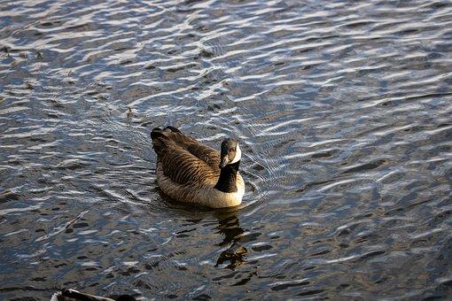 Bird, Duck, Nature, Animal, Water, Lake, Swim, Small