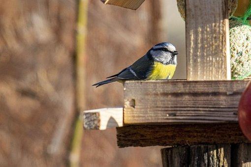 Bird, Tit, Animal, Nature, Garden, Cute, Hunger