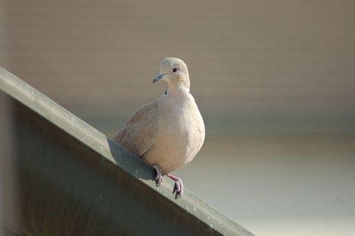Collared Dove, Doves, Bird, Plumage, Ornithology