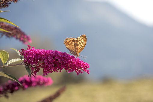Butterfly, Orange, Lilac, Summer Lilac, Blossom, Bloom