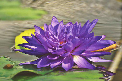 Water Lily, Pond, Lake, Lily Pad, Blossom, Bloom, Bloom