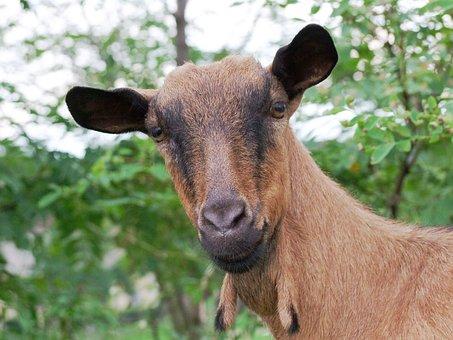 Ram, Animal, Brown, Mammal, Is Watching