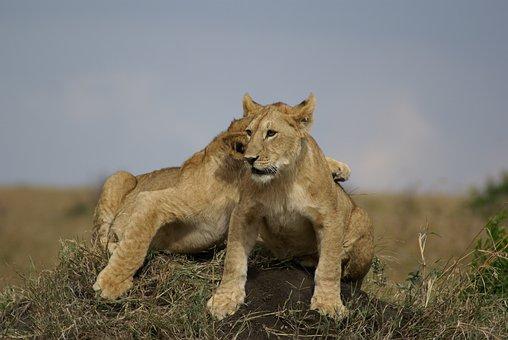 Lion, Cat, Africa, Safari, Carnivore, Wildcat, Wildlife