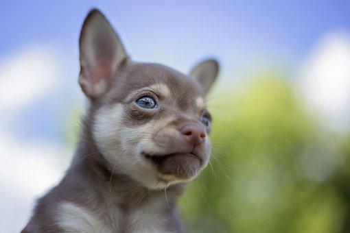 Chihuahua, Dog, Poppy, Brown, Bokeh, Blue Eyes