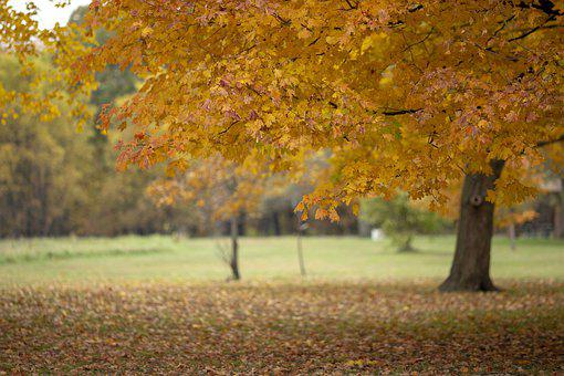 Photo Background, Fall, Orange Leaves, Maple Tree