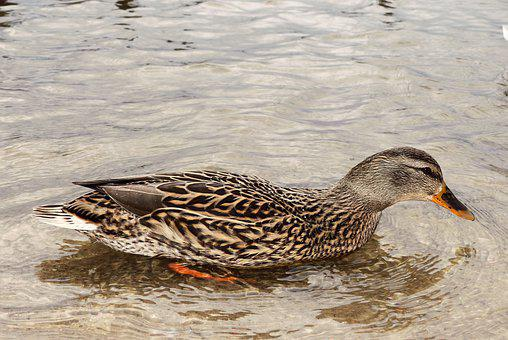 Mallard Duck, Female, Water Bird, Lake Mine, Grudziadz
