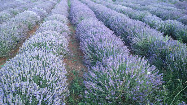 Lavender, Bulgaria, Field, In, Summer, Nature