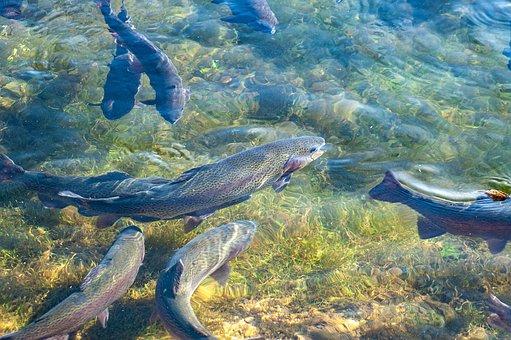 Trout, Fish, Breeding, Trout Pond, Fish Farming, Water
