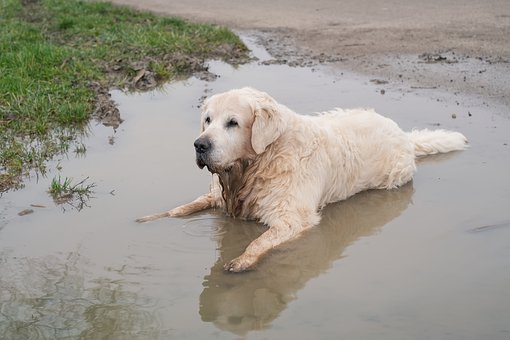 Golden Retriever, Dog, Retriever, Old, Male