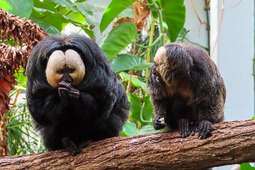 Animal World, Ape, Saki, Weisskopfsaki, Hunger